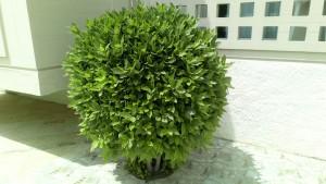 puu Kreeta